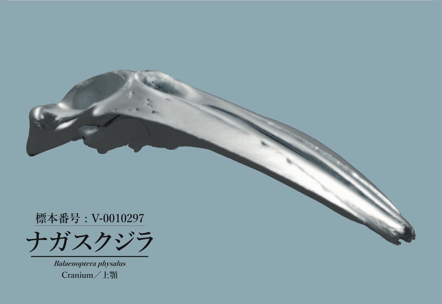 ポストカード_福井県立恐竜博物館ナガスクジラ